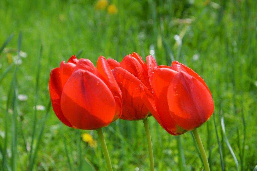 drei rote Tulpen Pfarrgarten