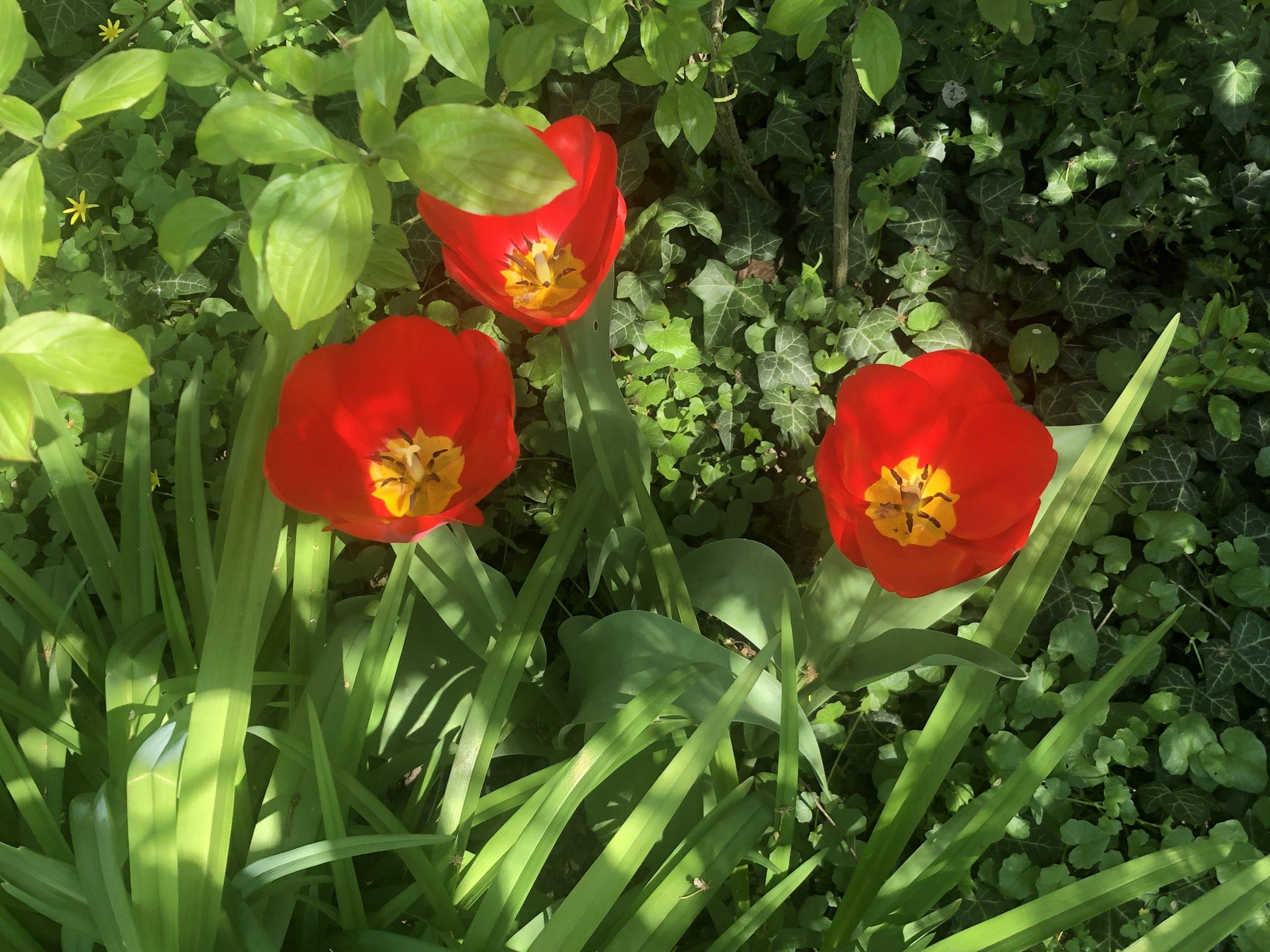 Tulpen_IMG_9168